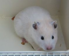 Cream Roan Syrian Hamster | Hamster Central Hamster Species, Pet Rodents, Syrian Hamster, Cute Hamsters, Gerbil, Guinea Pigs, Cute Pictures, Cream, Pets