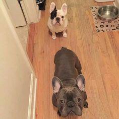 Frank & Manny, the French Bulldog Buddies.