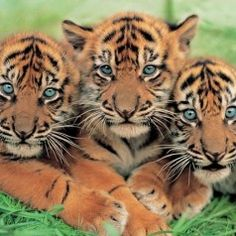 Follow the upcoming birth of Sumatran tiger babies!