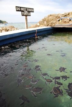The baby turtles are kept in a holding pool to allow them to grow stronger and bigger before releasing them back into the sea.