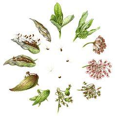 by Betsy Rogers-Knox Botanical Artist Milkweed Lifecycle Botanical Tattoo, Botanical Drawings, Botanical Prints, Illustration Botanique, Plant Illustration, Cycle Drawing, Butterfly Drawing, Floral Illustrations, Life Cycles