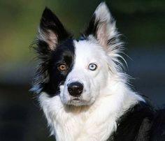 Perro Ojos Bi Color