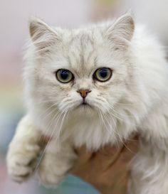 Le Tiffany, (ou #Tiffanie) est une race de chat très récente, issue du croisement entre le Persan et le Burmese. Originaire d'Angleterre, sa race a été reconnue en 1999.  Le Tiffany est un chat imposant, au thorax large et à l'ossature forte. Sa robe est mi- longue, fournie, dense et soyeuse.  Du côté du caractère, on retrouve dans ce chat à la fois le calme et la tranquillité du Persan, et la vivacité et la curiosité du Burmese.  #Croquetteland #chat #race #Tiffany #cat #breed #catbreed