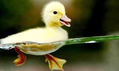 swimming ducky