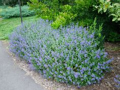 Buy catnip Nepeta racemosa 'Walker's Low' - Deep violet to lilac-blue summer flowers and aromatic mid-green leaves.: Delivery by Waitrose Garden Alchemilla Mollis, Garden Plants, Indoor Plants, Long Flowers, Summer Flowers, Purple Flowers, Seaside Garden, Kitchen Plants, Gardens