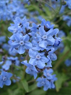 """Cynoglossum amabile 'Blue Showers' """"Chinese Forget Me Not"""" -- An annual but self sows twice a year in PA for an endless succession of blueness. A must in the rose garden. Wedding Flower Packages, Diy Wedding Flowers, Wedding Favours, Wedding Ideas, Blue Flowers, Wild Flowers, Forget Me Not Blue, Herbal Essences, Flower Packaging"""