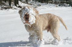 Lagotto Romagnolo Pups ~ Classic Look