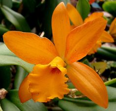 "Orchidee - orchid..........""orange Nugget"" by karin_b1966, via Flickr"