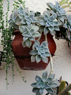flora-file: graptopetalum paraguayense (by Paloma col) Ghost plant Succulents In Containers, Container Plants, Cacti And Succulents, Planting Succulents, Container Gardening, Planting Flowers, Succulent Gardening, Garden Plants, Indoor Plants