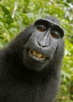 The picture causing a stir... the first animal selfie. I would say the rights of this definitely belong to the man who sat with these animals for weeks on end in the jungle and engineered the shots- that's a lot of hard work... he deserves the rights to these pictures. Amazing