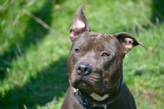 Staten Island Center  My name is MAX. My Animal ID # is A1069166. I am a male brown and white pit bull mix. The shelter thinks I am about 2 YEARS  I came in the shelter as a OWNER SUR on 04/02/2016 from NY 10303, owner surrender reason stated was ATT ANIMAL