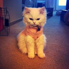 cats love to wear sweaters.