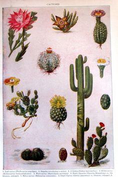 Cacti http://stores.ebay.com/SANDTIQUE-Rare-Prints
