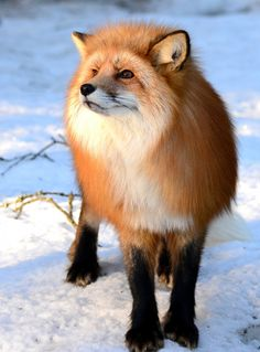 Red fox by Kristin Smestad on 500px*