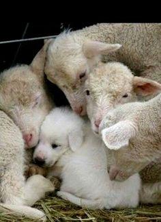 Daar ligt een hondje tussen de schapen. Haha