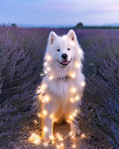 Little Dogs Fluffy - Dogs Cutest Names - Cute Dogs Treats - Dogs Ideas Crafts Cute Dogs And Puppies, Baby Dogs, Doggies, Cute Funny Animals, Cute Baby Animals, Beautiful Dogs, Animals Beautiful, Cute Dog Wallpaper, Samoyed Dogs
