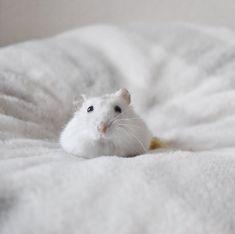 ayaさんはInstagramを利用しています:「おはまろー . . #ハムスター #ジャンガリアン #まろん #クリーミーライン #ハムスタグラム #ふわもこ部 #もふもふ #ペット #小動物 #かわいい #癒し #アニマル写真部 #倉鼠 #hamster #hamstergram…」
