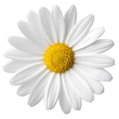 Meaning of the dream in which you see the Daisy. Detailed description about dream Daisy. Flores Vintage Png, My Flower, Flower Power, Simbolos Tattoo, Does He Love Me, Png Tumblr, Most Popular Flowers, Tumblr Stickers, Daisy Chain