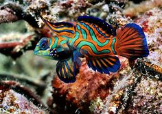 The Mandarin fish is the most beautiful member of the genus Synchiropus. It is also one of the most breathtaking marine fish ever found in our oceans. Her entire body is composed of alternating wavy lines of orange, blue and green. While they are commonly known as the Mandarin goby fish, they're real name is Mandarin Dragonet. It is similar to the Scooter Blenny (Synchiropus Occelatus). The mandarin fish is from the Pacific, ranging approximately from the Ryukyu Islands south to Australia.