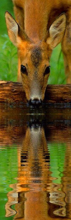 reflection deer drinking