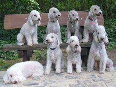 bedlington | Bedlington Terrier – A Playful Companion |