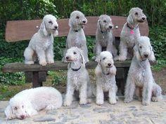 bedlington   Bedlington Terrier – A Playful Companion  