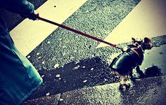 Rainy Paris Angry Parisian Dog