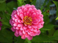 Pink Zenia