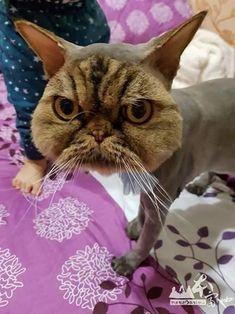 Persian Cat Haircut cat mask - Sorry, kitty. Bad haircuts can happen to anyone. I Love Cats, Cute Cats, Funny Cats, Funny Animals, Cute Animals, Funny Shit, Funny Memes, Hilarious, Cat Haircut