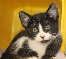 ADOPTED> Intake:  10/26 Available:   11/1 NAME:  Jaxx ANIMAL ID:  33834039 BREED: DSH SEX:  Male EST. AGE:  8 weeks Est Weight: 1 lb 14ozs Health:   Temperament: Friendly ADDITIONAL INFO:   RESCUE PULL FEE:  $35