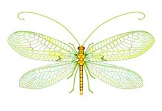 scientific drawing: Green-Lacewing