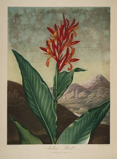 temple-fleur-illustration-Robert-Thornton-21