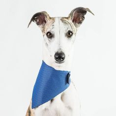 What says you hooman does blue suit me?  Kai wears a Medium size #Dogsnug High Vis Cooling Bandana. Check the link in our bio  #bestwoof #dogcrushdaily #thestatelyhound #citydogs #superdog #petsofinstaworld #instapup #lurchers #puppiesofinstagram #salukis #sighthounds #whippets #whippetlove #whippetpuppy #ilovemydog #italiangreyhound #doglover #dogslife #dogoftheday #greyhounds #happy #greyhounds #whippetsofinstagram #lurchers #italiangreyhounds #italiangreyhoundsofinstagram #whippet…
