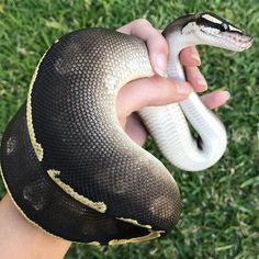 Oh how id flip the Fuck out if someone played around with me. Les Reptiles, Cute Reptiles, Reptiles And Amphibians, Pretty Snakes, Beautiful Snakes, Animals Of The World, Animals And Pets, Cute Animals, Geckos