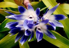 disa longicornu | OrchidCraze: Black and Blue..
