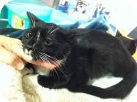 Medford, NJ - Domestic Shorthair. Meet Boots, a cat for adoption. http://www.adoptapet.com/pet/10764475-medford-new-jersey-cat