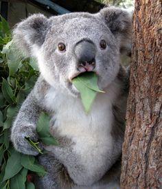 koala-astonished.png (553×645)