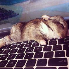 Baby bunny sleeps on keyboard.