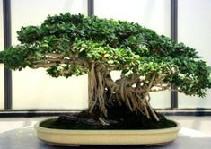 A Tiger Bark Ficus (Ficus retusa) bonsai. From the Collection of the National Bonsai and Penjing Mueseum at The United States National Arboretum. Ficus Ginseng Bonsai, Bonsai Plants, Bonsai Garden, Bonsai Trees, Cotoneaster Bonsai, Herb Plants, Potted Plants, Ficus Microcarpa, Bonsai Tree Types