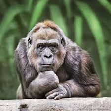 Image result for thinking gorilla