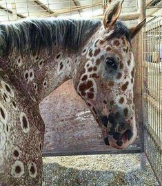 A sorrel Leopard Appaloosa, ancestor bred by Nez Perce Indian Mountain Ryder - Pferde - Cute Horses, Pretty Horses, Horse Love, Beautiful Horses, Animals Beautiful, Leopard Appaloosa, Appaloosa Horses, Photo Animaliere, Photo Chat