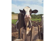 Cow Photograph Farm Photo Farmhouse Decor by LostInTheValleyPhoto, $30.00