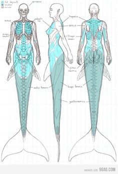 Anatomy Of A Mermaid. Now I just like   seeing all you dumbasses argue over a drawing. Haha :)
