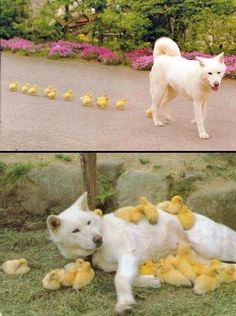 I don't know what the story is but it appears the chicks were imprinted by the dog.