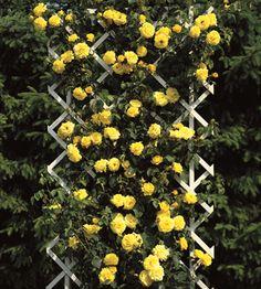 Design Your Own Rose Garden Growing Roses, Beautiful Flowers Garden, Climbing Roses, Design Your Own, Houseplants, Shrubs, Flower Power, Red Roses, Pergola