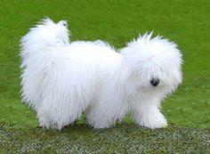 Coton De Tulear Legends Abound Of The Little Dogs That Survived Shipwrecks And Swam As
