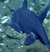 Okeanos Explorer Northeast US Canyons Expediation live stream.
