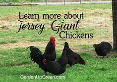 Learn More about Jersey Giant Chickens