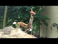 African Wild Dog/Painted Dog Food Enrichment