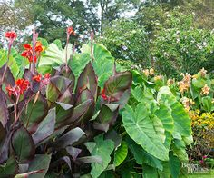Large leaved cannas make a dramatic statement in any garden. These heat-loving plants are perennial in frost-free regions, but they must be dug and stored over the winter in the north. Available in standard types that can grow 6-8 feet tall and dwarfs that stay below 4 feet tall, cannas are easy to squeeze into the flower border. In this garden, a mass of red- and green-leaf cannas form a wall of color at the end of a long, serpentine perennial border.